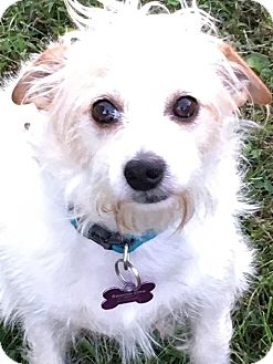 Terrier (Unknown Type, Small) Mix Dog for adoption in Springfield, Missouri - Buddy Air