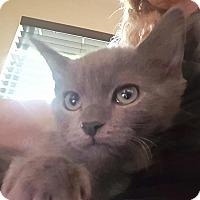 Adopt A Pet :: Kobe - Woodland Hills, CA