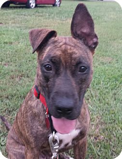 Plott Hound/Dutch Shepherd Mix Dog for adoption in Wilmington, North Carolina - LOLA