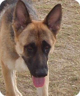 German Shepherd Dog Dog for adoption in Dripping Springs, Texas - Herman