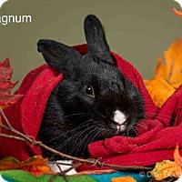 Adopt A Pet :: MAGNUM - Santa Fe, NM