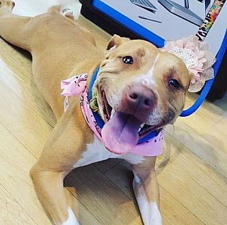 Pit Bull Terrier Mix Dog for adoption in St. Louis, Missouri - Ruth