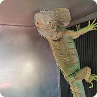 Adopt A Pet :: LEONIDAS - San Antonio, TX