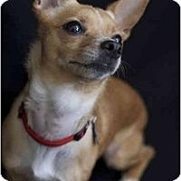 Adopt A Pet :: Foxy - San Francisco, CA