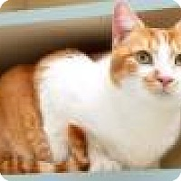 Domestic Shorthair Cat for adoption in Livonia, Michigan - Blossom