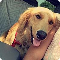 Adopt A Pet :: *Princess Sophie - PENDING - Westport, CT