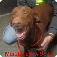 Adopt A Pet :: MarshMellow - baltimore, MD