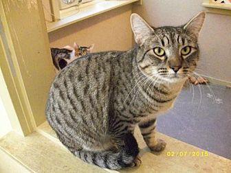 Domestic Shorthair Cat for adoption in Live Oak, Florida - Carlisle