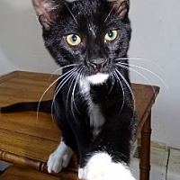 Domestic Shorthair Cat for adoption in Mt. Vernon, New York - Boots