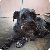 Adopt A Pet :: Nixon - Redondo Beach, CA