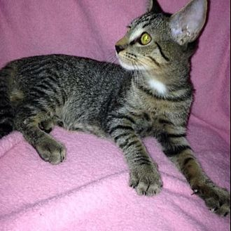 Domestic Shorthair Kitten for adoption in Sarasota, Florida - Gene