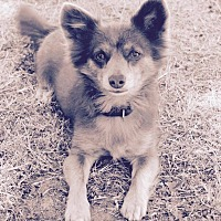 Pomeranian/Spaniel (Unknown Type) Mix Dog for adoption in Surrey, British Columbia - Foxy