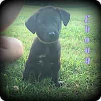 Adopt A Pet :: Ebony - Denver, NC