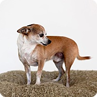 Adopt A Pet :: Badger-No Adoption Fee! - Scottsdale, AZ
