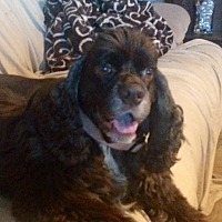 Cocker Spaniel Dog for adoption in Santa Barbara, California - JB