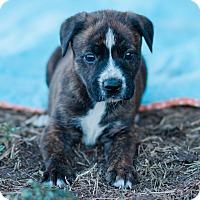 Adopt A Pet :: Memphis $250 - Seneca, SC