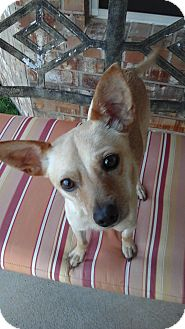 Rat Terrier/Italian Greyhound Mix Dog for adoption in Bedford, Texas - Pete