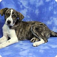 Adopt A Pet :: ALASKA - Westminster, CO