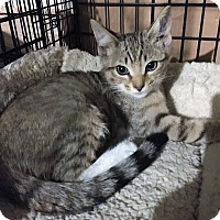 Egyptian Mau Kitten for adoption in Cerritos, California - Sally Rae