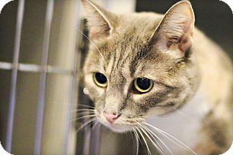 Domestic Shorthair Cat for adoption in Lincoln, Nebraska - Rajya