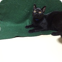 Domestic Shorthair Cat for adoption in Decatur, Alabama - Jeremiah