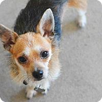 Adopt A Pet :: Clyde - New Braunfels, TX