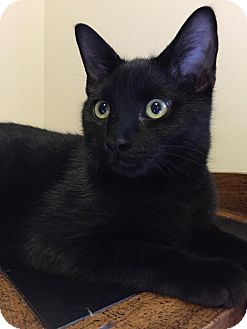 Domestic Shorthair Kitten for adoption in Rochester Hills, Michigan - Opey