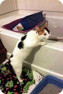 Domestic Shorthair Cat for adoption in Putnam, Connecticut - Junipurr