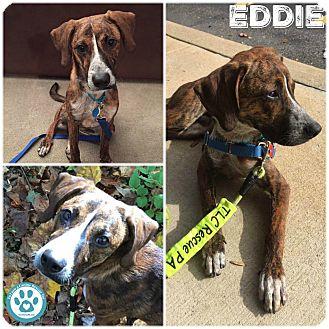 Plott Hound/Terrier (Unknown Type, Medium) Mix Puppy for adoption in Kimberton, Pennsylvania - Eddie