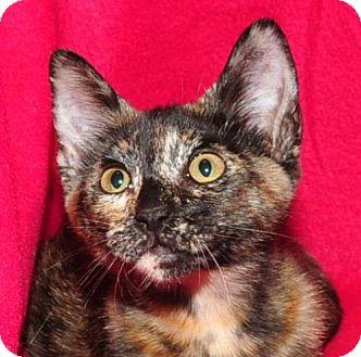 Domestic Shorthair Kitten for adoption in Garland, Texas - Poppy