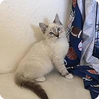 Siamese Cat for adoption in West Palm Beach, Florida - Bella
