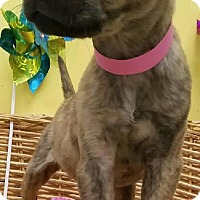 Pit Bull Terrier Mix Puppy for adoption in Decatur, Alabama - Mia