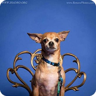 Chihuahua Dog for adoption in Blacklick, Ohio - Mouse