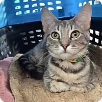 Adopt A Pet :: Kipling - Colmar, PA