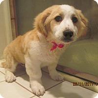 Adopt A Pet :: PUPPY BOY CORY - La Mesa, CA