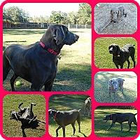 Adopt A Pet :: Mawgli - Inverness, FL