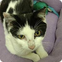 Adopt A Pet :: Paddington Bear - Atlanta, GA