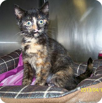 Domestic Shorthair Kitten for adoption in Dover, Ohio - Kacy