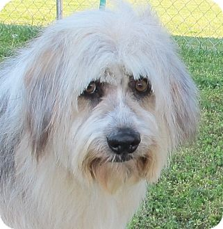 Bearded Collie/Old English Sheepdog Mix Dog for adoption in Brattleboro, Vermont - Quincey