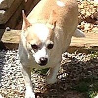 Chihuahua Dog for adoption in Shelby, North Carolina - Sweet Pea