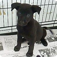 Adopt A Pet :: Midnight - Philadelphia, PA