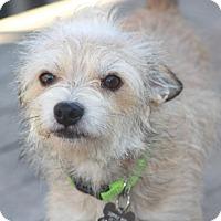 Adopt A Pet :: Boo - Norwalk, CT