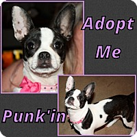 Adopt A Pet :: Punk'in - Cheney, KS