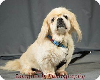 Pekingese Mix Dog for adoption in Oklahoma City, Oklahoma - Arthur