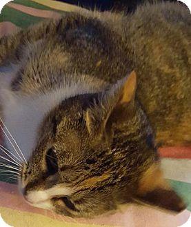Domestic Shorthair Cat for adoption in New Bedford, Massachusetts - Hope