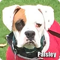 Adopt A Pet :: Paisley - Encino, CA