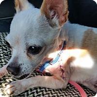 Adopt A Pet :: Cierra - Austin, TX