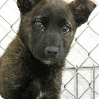 Adopt A Pet :: Shepherd pups--arriving soon! - Chichester, NH