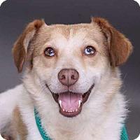 Adopt A Pet :: Rusty - Sudbury, MA