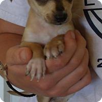 Adopt A Pet :: QUINCY - Corona, CA